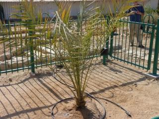 Dattelpalme im Kibbuz Ketura